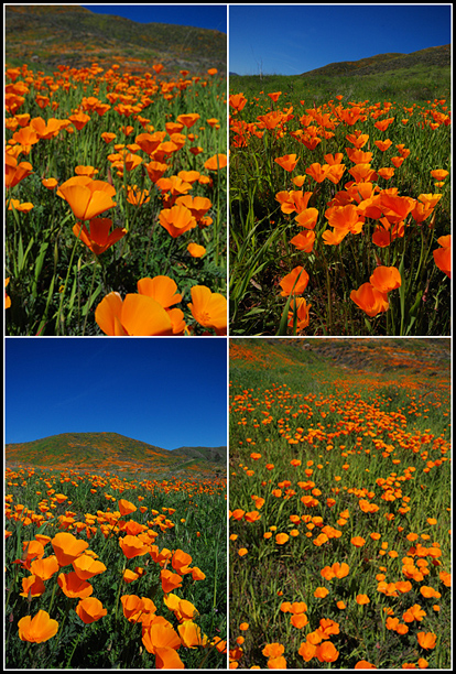 California Poppies in Orange County